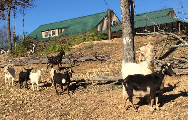 A Large Part Of Mr. Wally's Goat Herd Can Be Seen In This Photo From 2018 When He Had 20 Goats. His Largest Herd Numbered 46.
